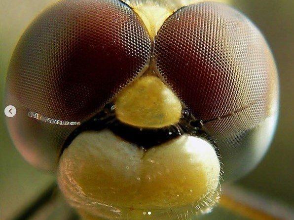 Yusufçuk - Yusufçuk Böceği