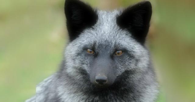 Belyaev, bir grup gümüş tilki aldı (gümüş kürklü kırmızı tilkiler) ve en dostça, en güler yüzlü bireyleri birbirleriyle yetiştirmeye başladı.