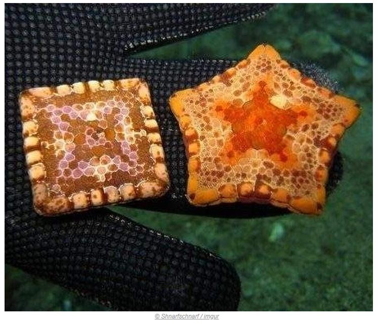 Denizyıldızlarının bazıları genetik anormali sonucu kare oluşur
