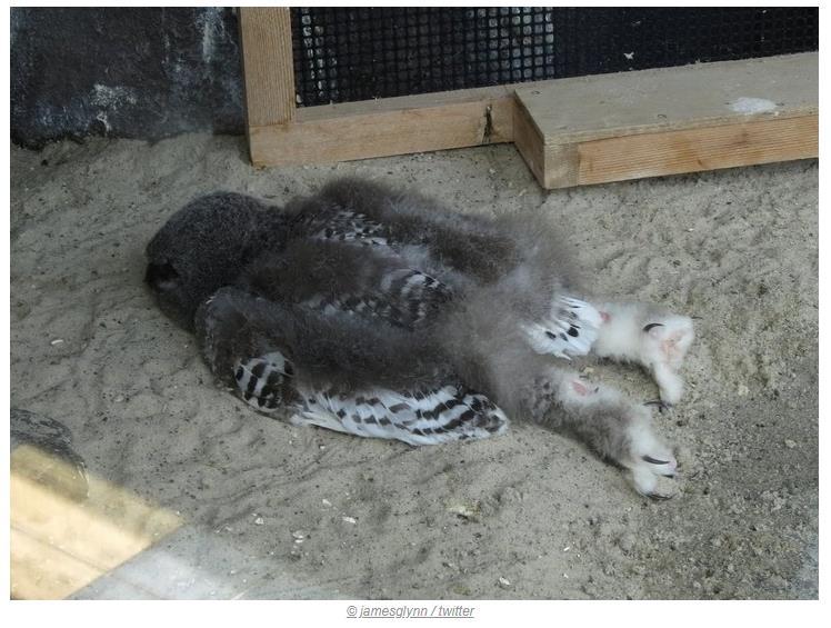 Yavru baykuşlar böyle uyurlar