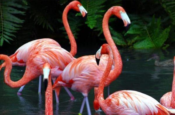 Flamingoların tüy renginin gerçekte pembe olmadığını biliyor muydunuz?