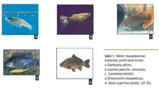 Vektör mücadelesinde kullanılan balık türleri.